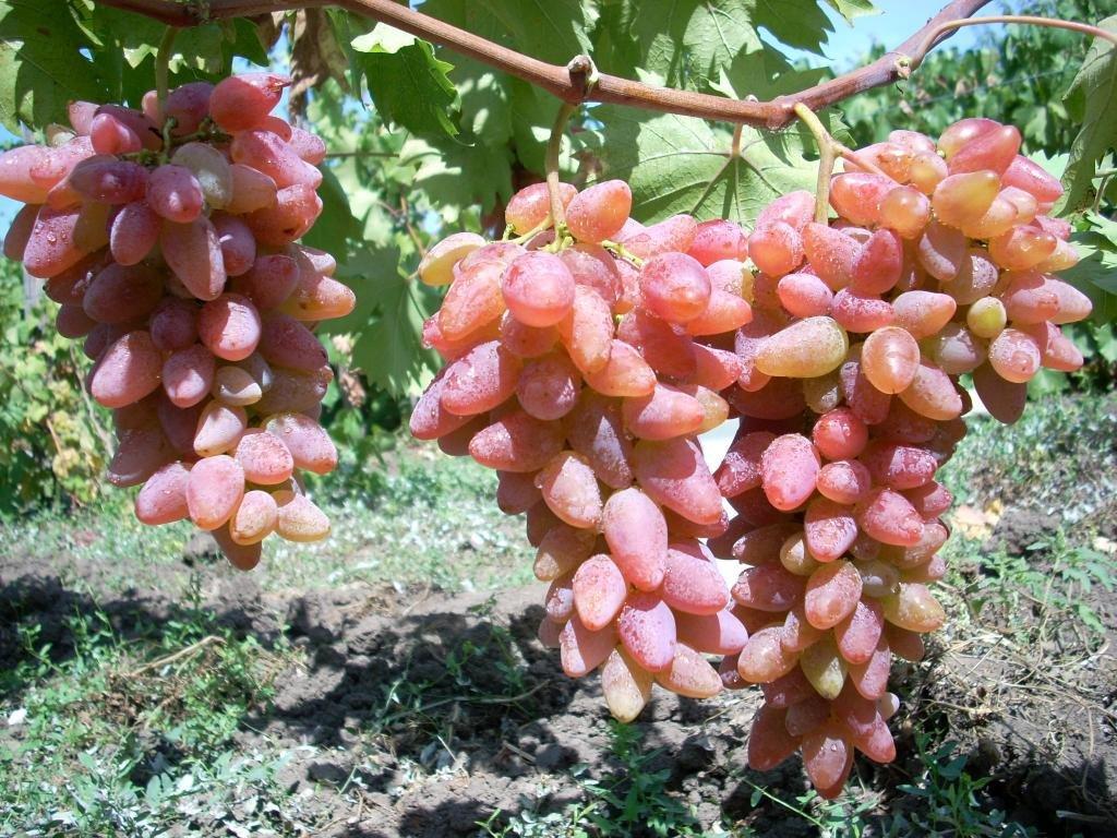 Лучшие сорта винограда с описанием, характеристикой и отзывами, в том числе винные, какие выбрать для выращивания в украине, россии