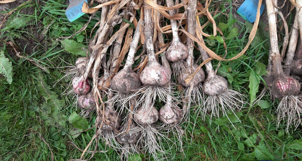 Когда нужно убирать озимый чеснок в Сибири, сроки посадки и хранения, сорта