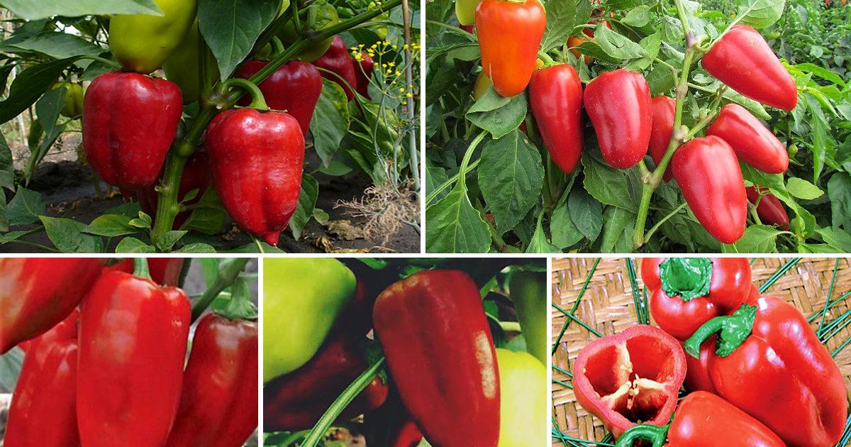 Перец «ласточка»: характеристика сорта, отзывы