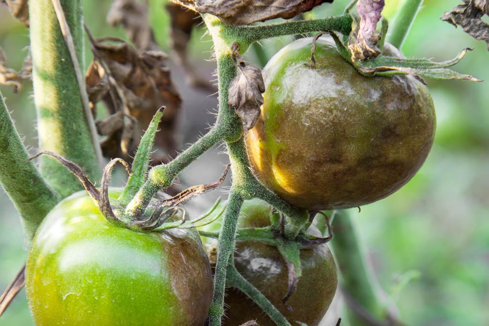 Чем болеют помидоры и как их лечить