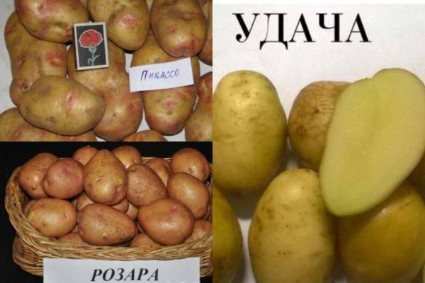 Старый отечественный сорт картофеля елизавета: описание, выращивание и уход