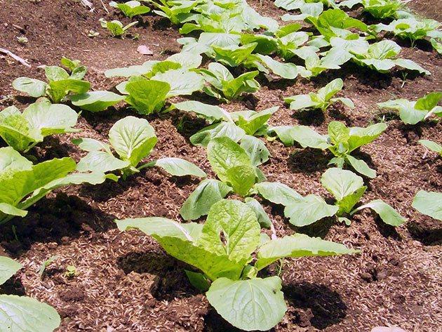 Пекинская капуста: выращивание и уход от рассады до сбора урожая пекинская капуста: выращивание и уход от рассады до сбора урожая