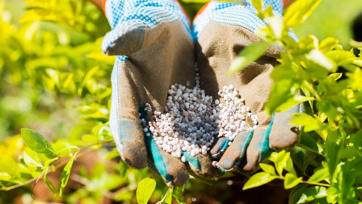 Как вырастить садовую голубику – советы по посадке и уходу