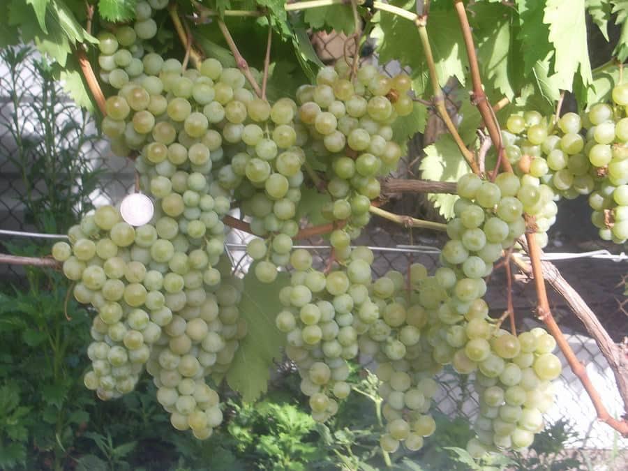 Виноград бианка: фото, описание сорта, характеристика