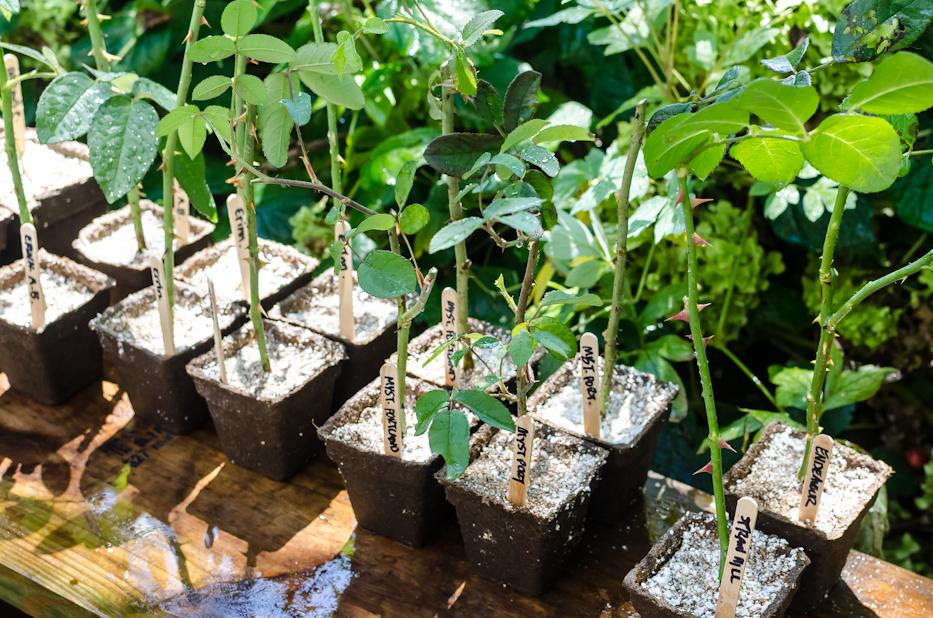 Как посадить розу из черенка в открытый грунт: основные правила