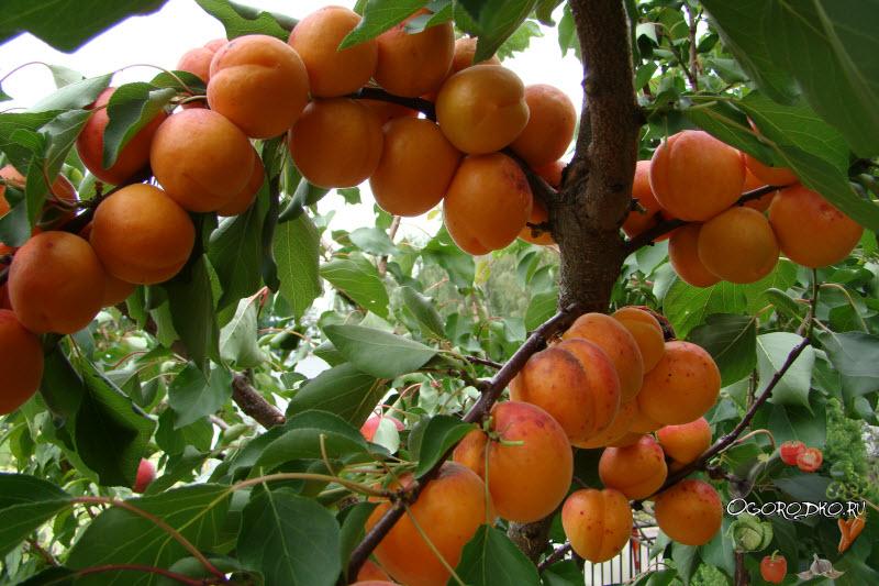 Выбираем сорт абрикоса для сибири