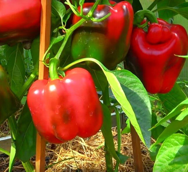Перец гибридный сладкий сорта «фламенко f1»: описание и секреты выращивания рассады
