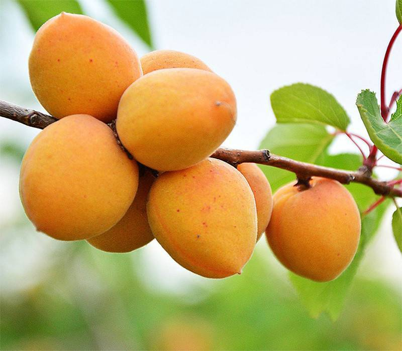 Описание и характеристики абрикоса Лель, технология посадки и уход