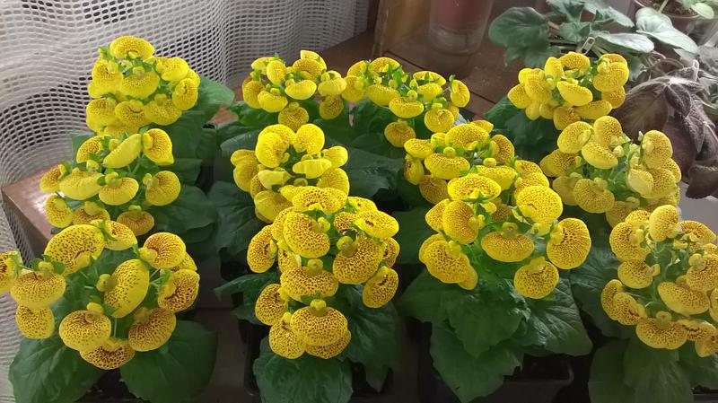 Кальцеолярия: уход в домашних условиях, выращивание из семян, виды