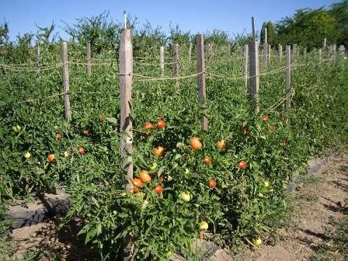 Как высаживать помидоры: выбор сорта, рассада, посадка, уход