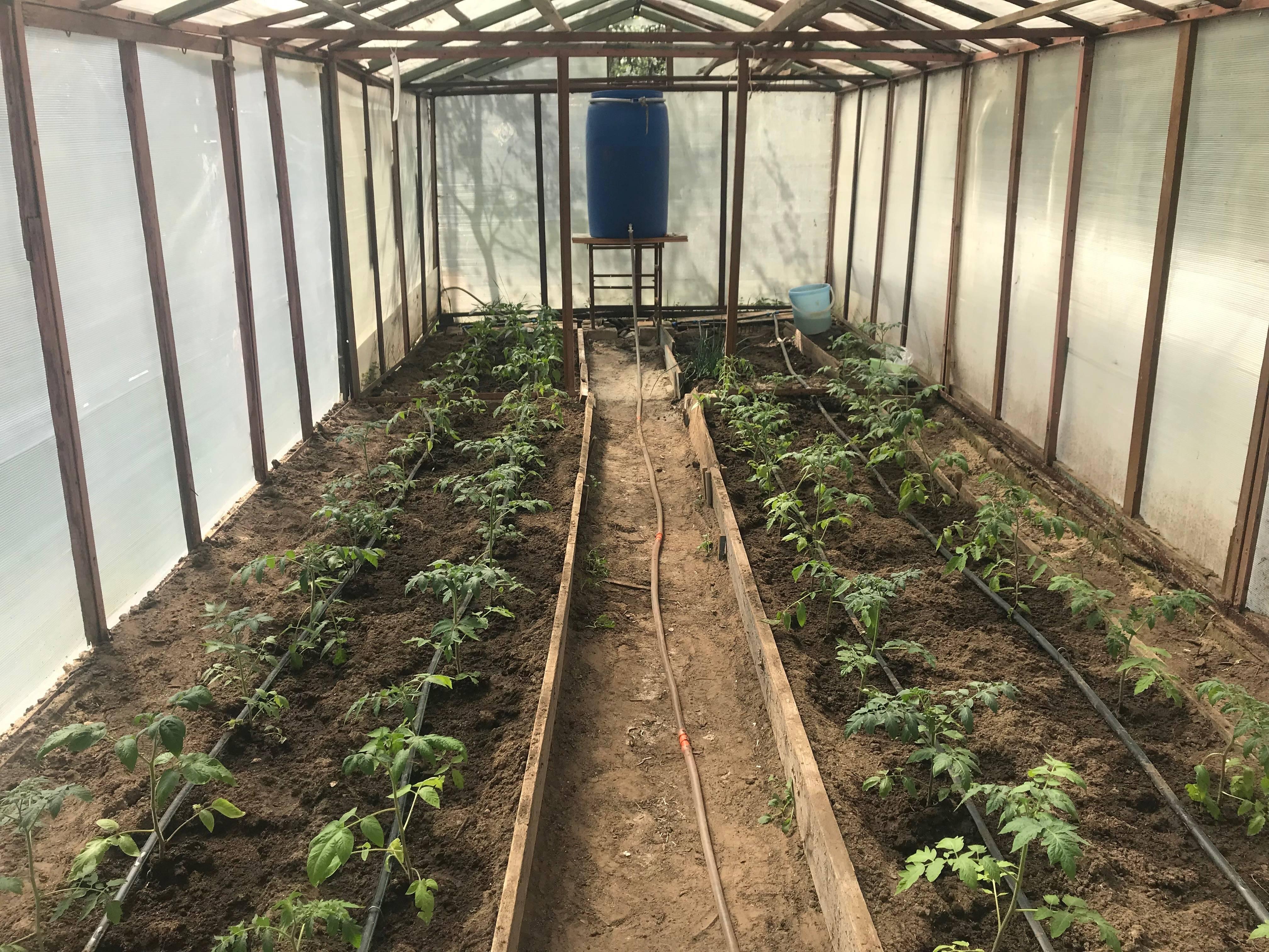 Капельный полив помидоров в теплице, открытом грунте, сколько раз в неделю, видео