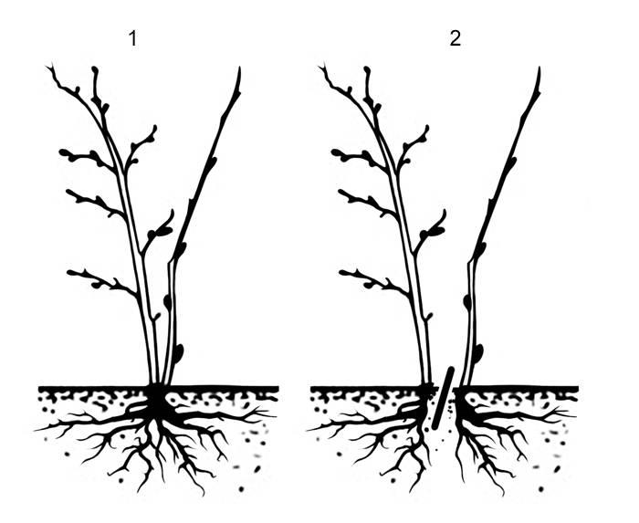 Смородина: выращивание в саду, виды и сорта