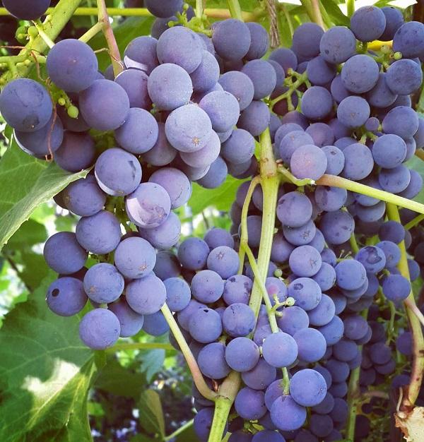 Виноград зилга: описание сорта и фото, отзывы садоводов
