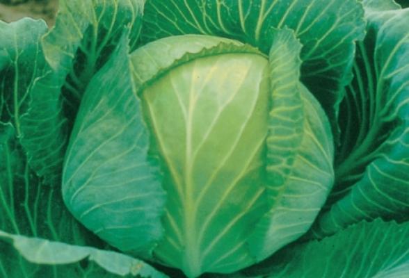 Капуста листовая редбор f1: правила агротехники, выращивание и уход, фото кочанов гибрида, блюда с овощем