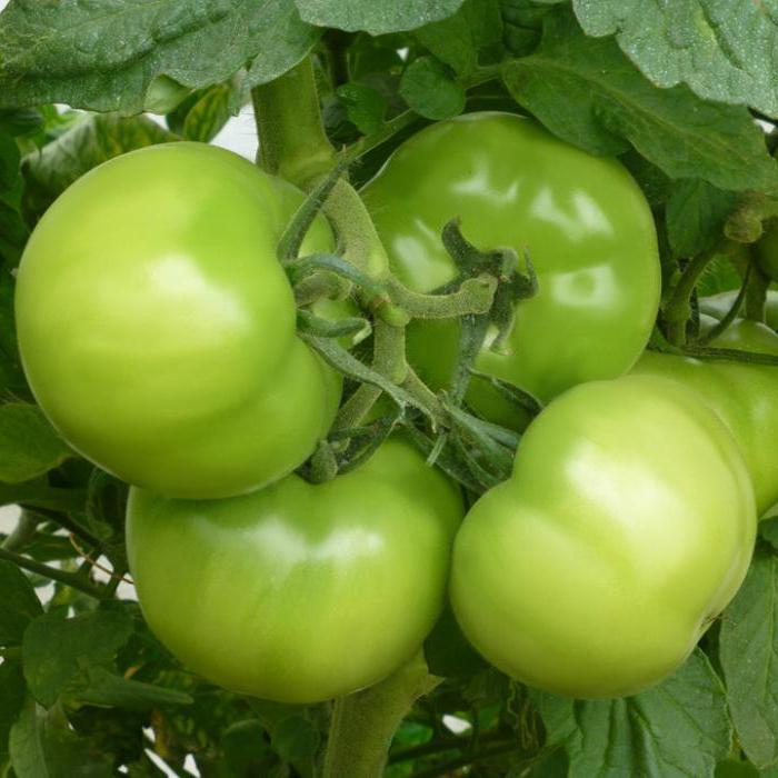 Характеристика и описание сорта Кибо F1, правила выращивания рассады