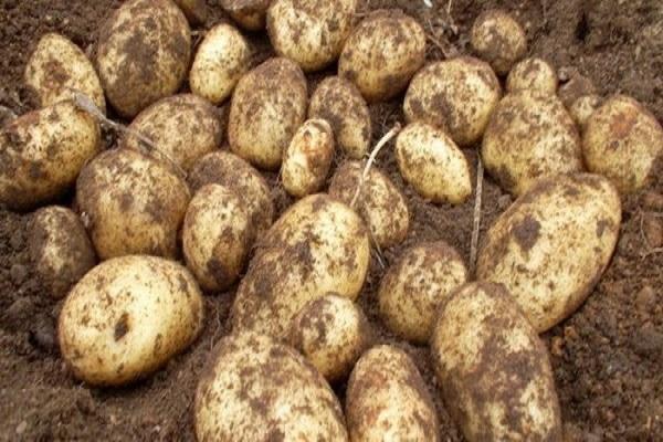 Голубизна: описание сорта картофеля, характеристики, агротехника