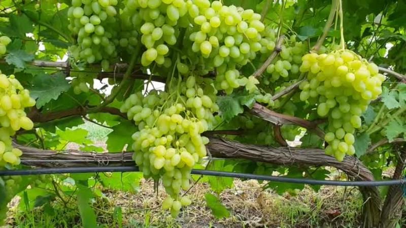 Сорт винограда долгожданный: описание, фото