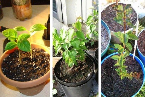 Как вырастить абрикос из косточки, в том числе в домашних условиях, посадка и уход, описание выращивания + видео