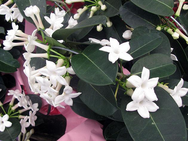 Стефанотис - уход в домашних условиях, фото цветка, размножение, пересадка, цветение
