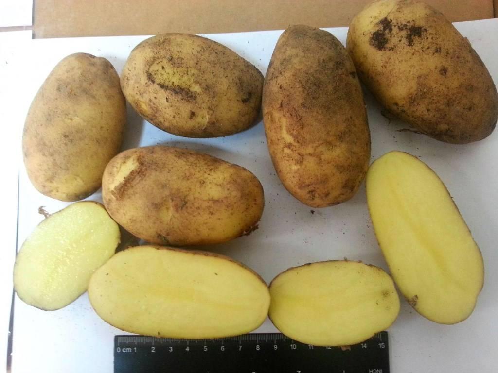 Картофель гала: топ советы по выращиванию, характеристика, фото