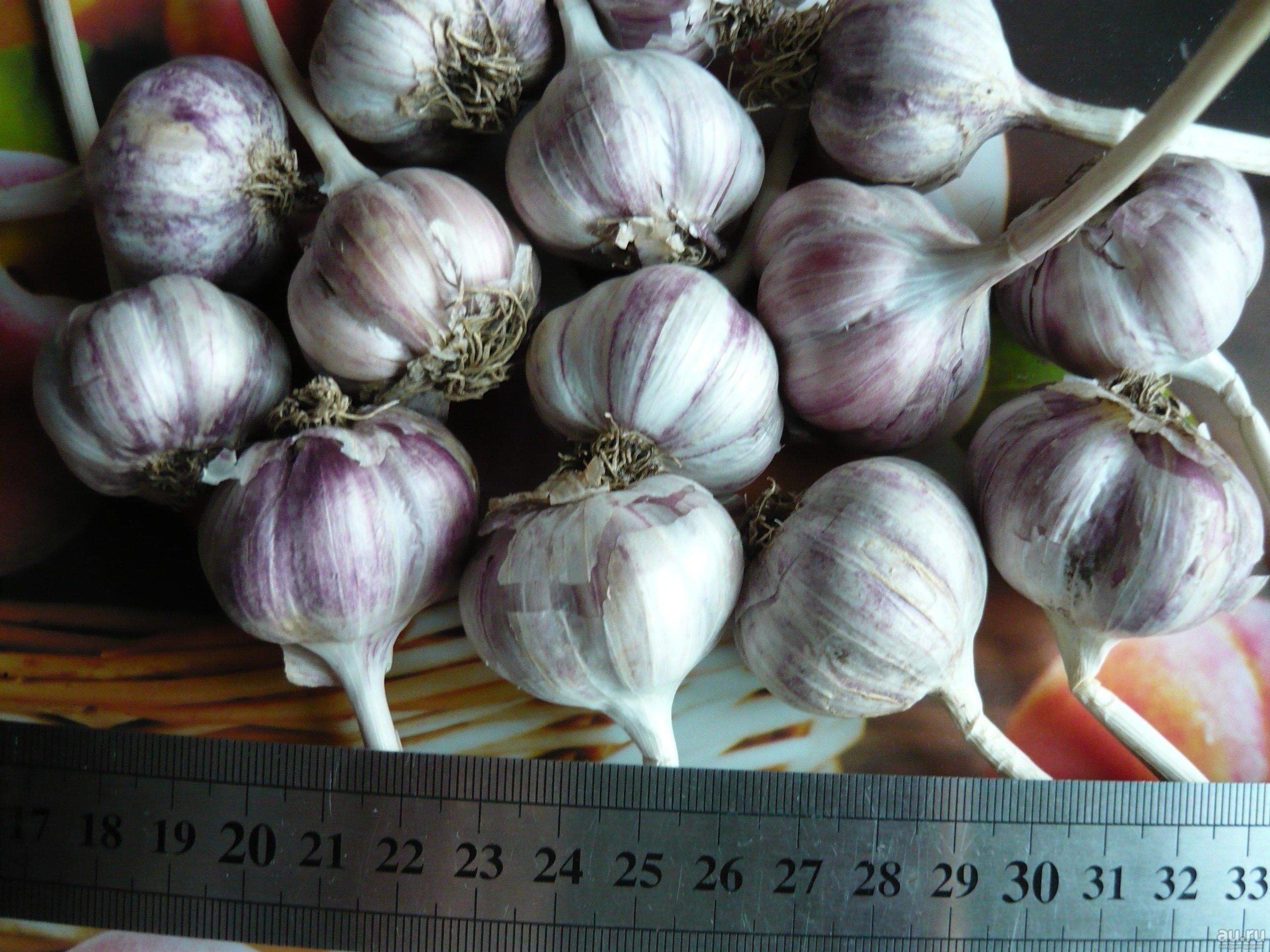 Чеснок гермидор: описание сорта, регионы выращивания