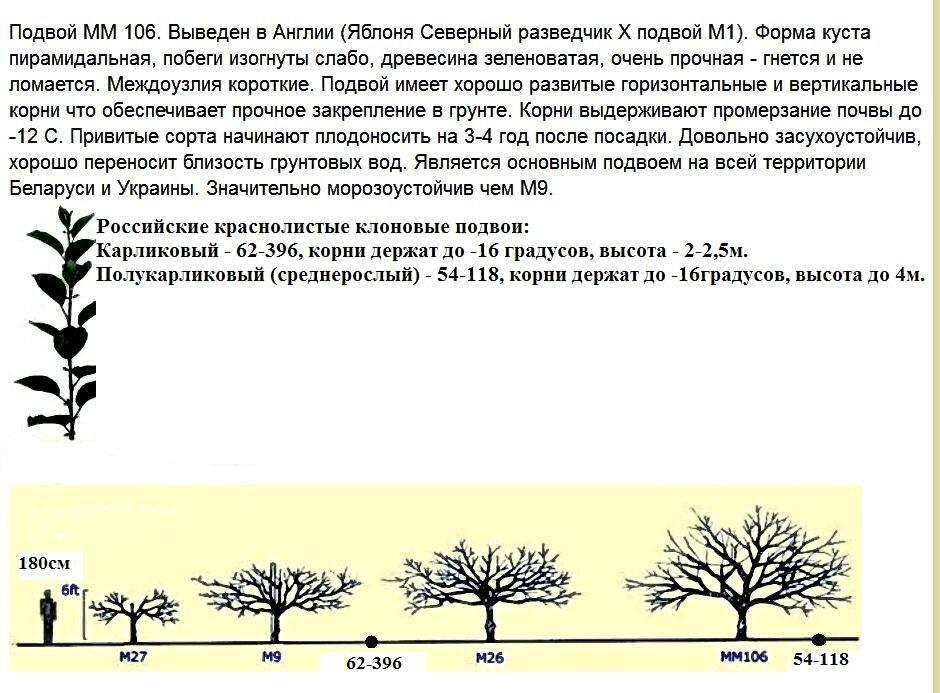 Яблоня карликовая: посадка, уход, обрезка и сорта