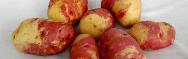 Картофель иван да марья: характеристика и описание сорта, фото, отзывы