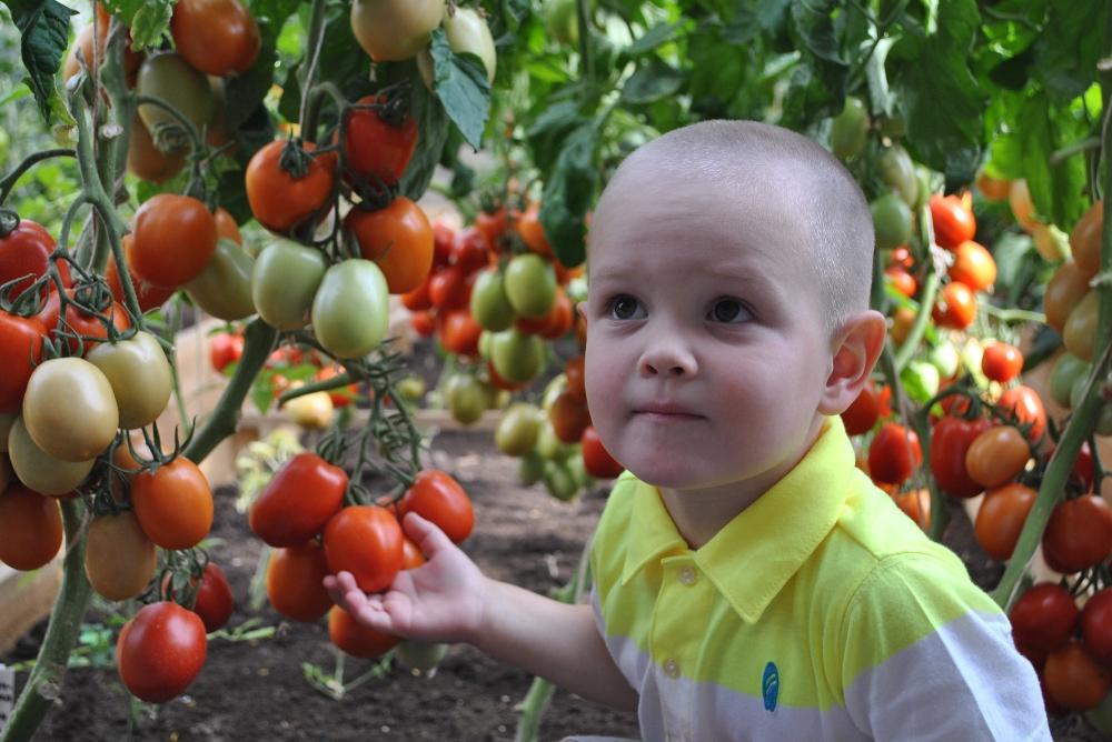 Помидофель: гибрид томата и картофеля своими руками