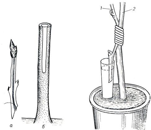 Прививка плодовых деревьев, сроки и методы прививки