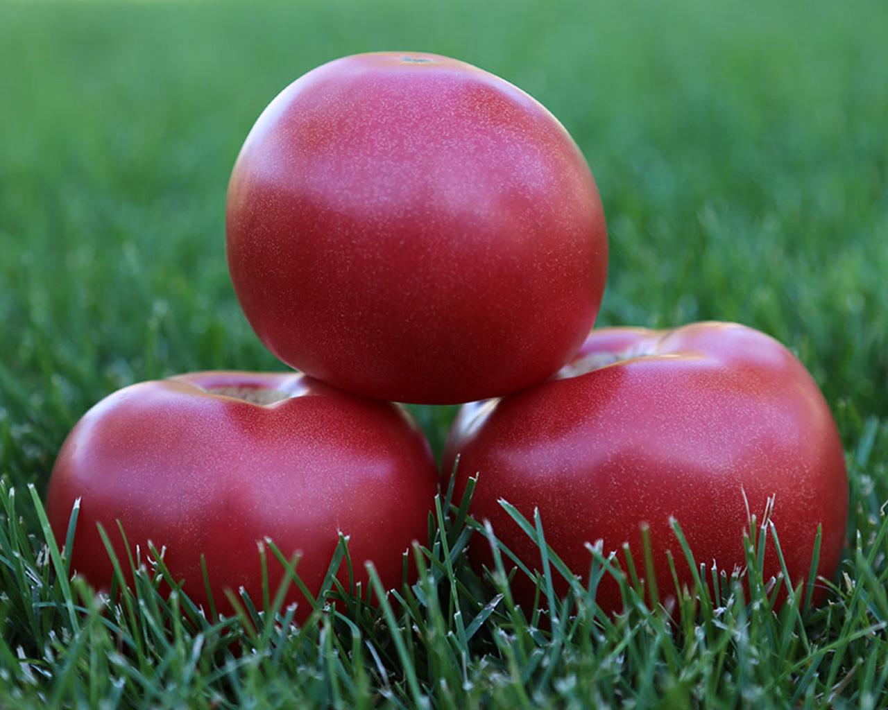 Голландский гибрид: сорт помидор пинк уникум