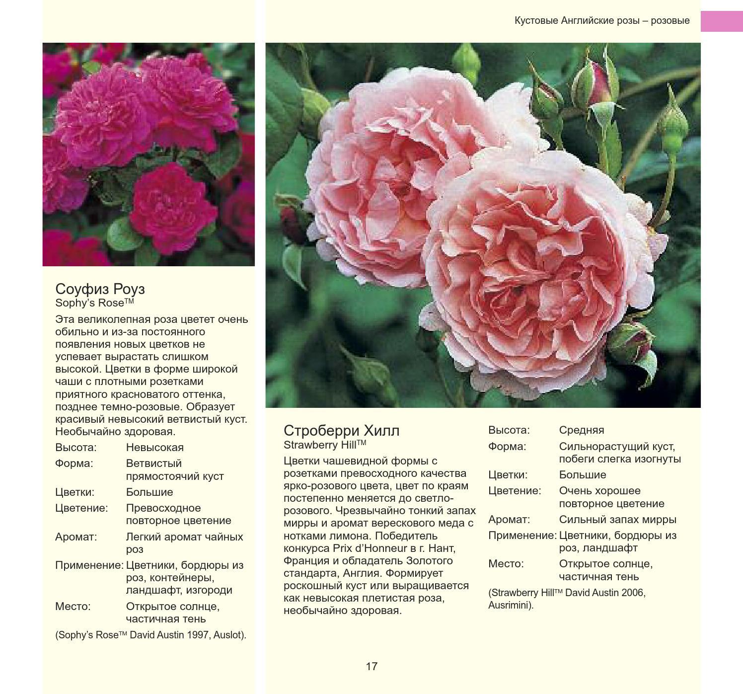 Самые лучшие сорта плетистых роз для выращивания в россии в 2021 года.