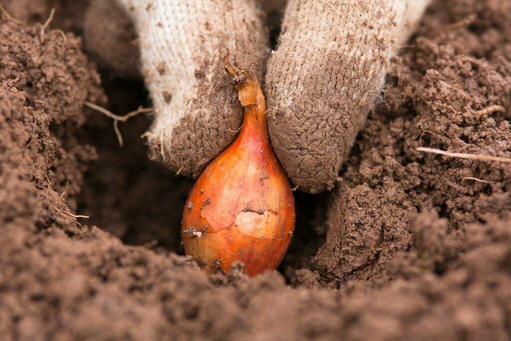 Посадка лука: как правильно сажать весной, на каком расстоянии, как посадить, чтобы получить хороший и крупный урожай