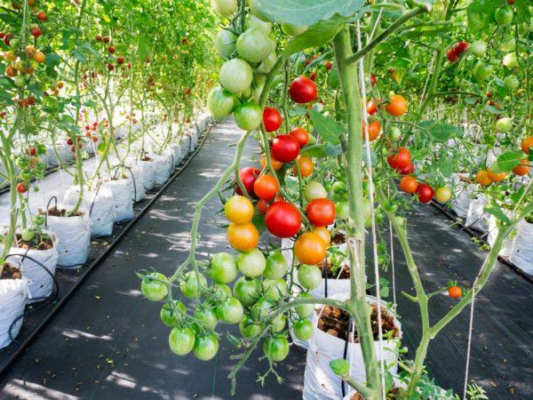 Голландская технология выращивания томатов в теплице