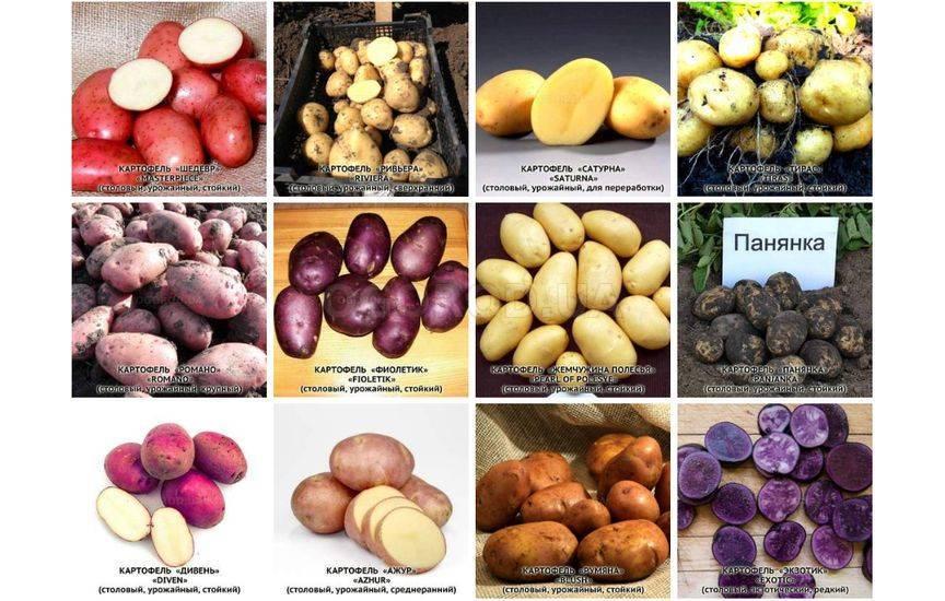 Картофель вектор: характеристики и описание сорта, урожайность, отзывы, фото