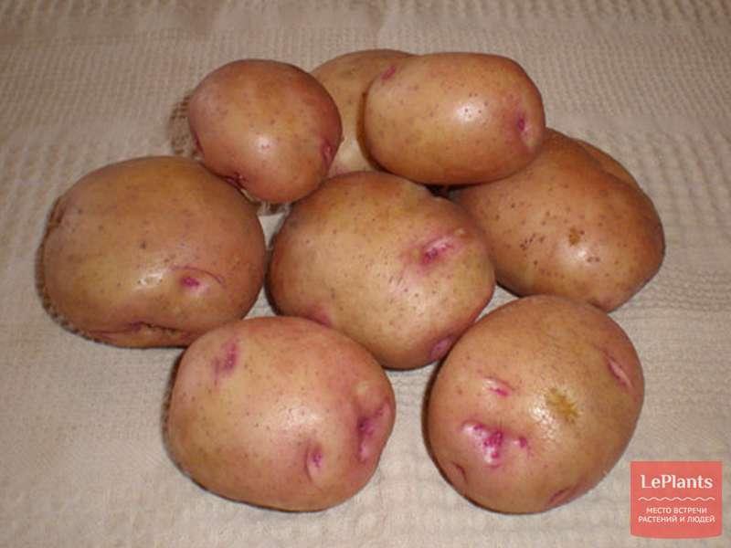Картофель сорта снегирь: описание с фото, а также плюсы и минусы, советы по уходу и выращиванию картошки