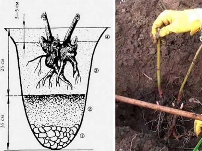 Пионы (70 фото) - виды, уход и выращивание