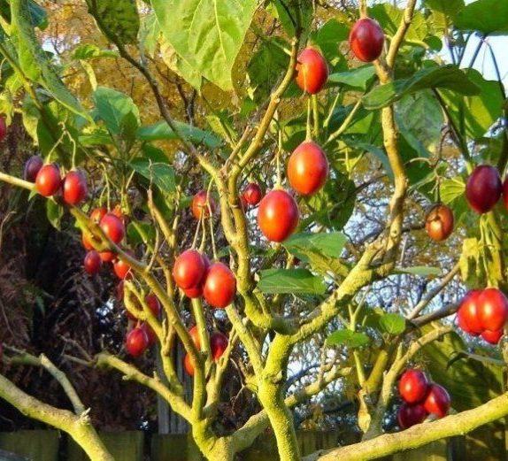 Томатное дерево тамарилло   вода - источник красоты и молодости
