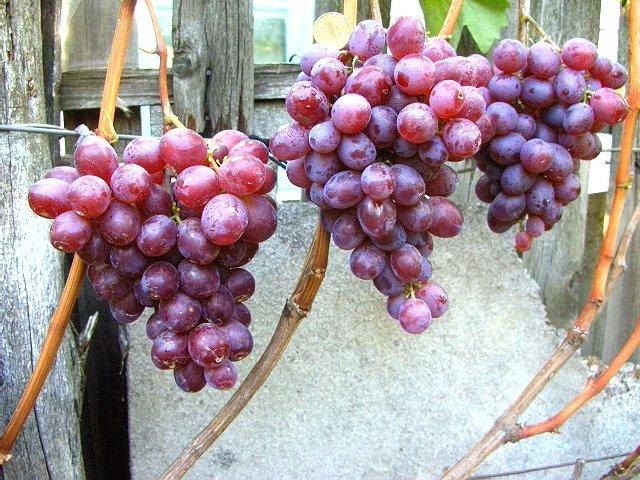 Виноград низина: правила посадки растения, описание, фото, отзывы