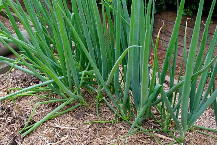 Когда сажать лук-батун осенью, весной в открытый грунт