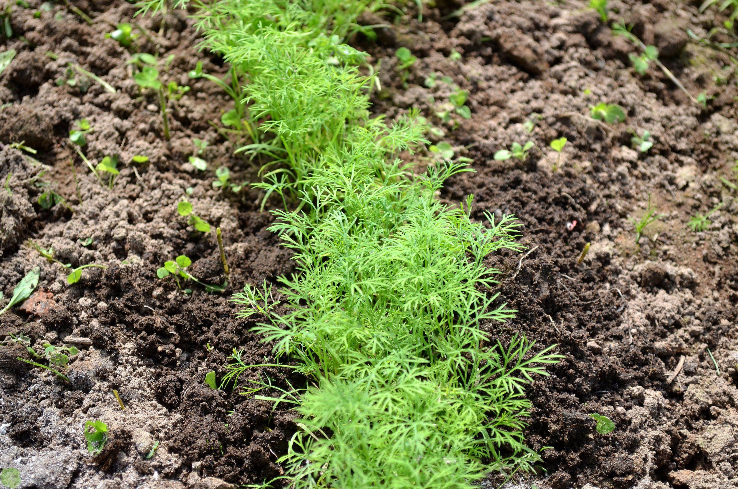Когда сажать укроп: сроки посадки семян в открытый грунт в сибири и подмосковье весной и в другое время, можно ли сеять в мае-июне, как правильно проводить посев? русский фермер