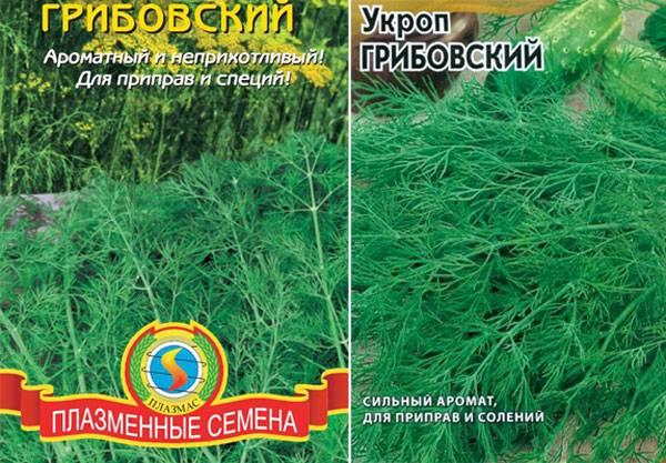 Описание и правила выращивания укропа сорта Грибовский