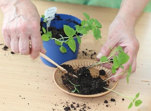 Физалис: описание, выращивание, уход | (30 фото) +отзывы