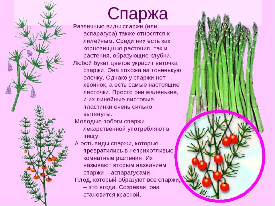 Аспарагус — выращивание и уход в домашних условиях. фото — ботаничка.ru