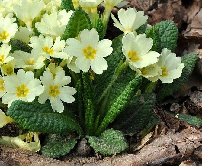 Цветы для посадки на клумбе весной, с фото и описанием
