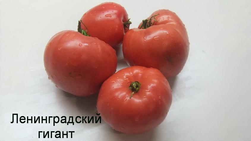 Томат сибирский скороспелый: отзывы, секреты выращивания с фото
