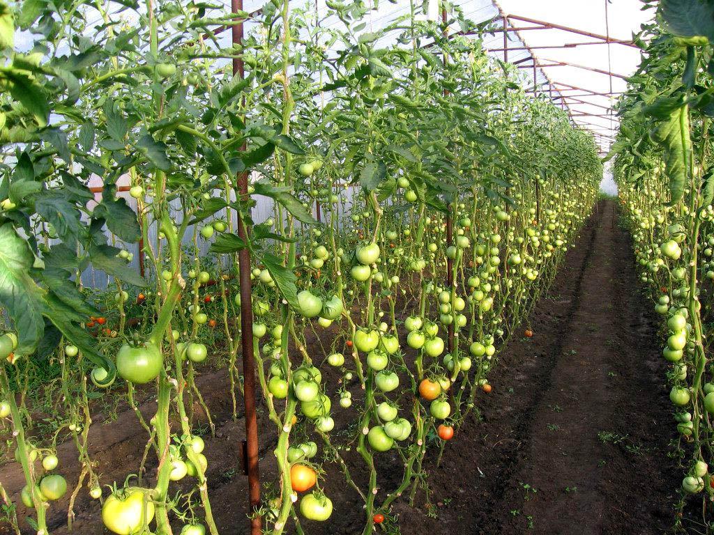Технология выращивания помидоров в теплицах из поликарбоната: секреты и советы высокой урожайности, фото