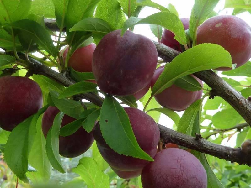 Тонкости выращивания высокоурожайной сливы стенлей: советы и отзывы дачников
