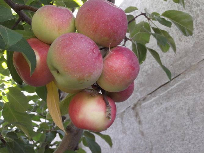 Сорта яблонь для урала с фото и описанием