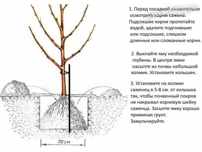 Описание и правила выращивания абрикоса сорта Десертный