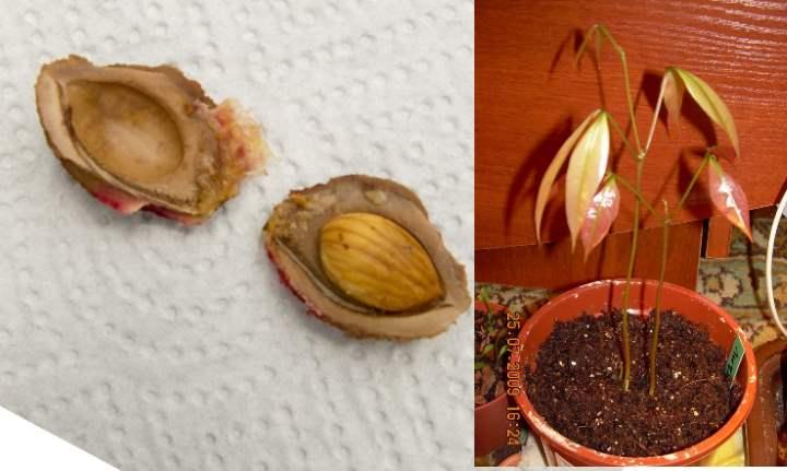 Как вырастить абрикос из косточки в домашних условиях — этапы подготовки к посадке, условия ухода и особенности содержания (80 фото + видео)